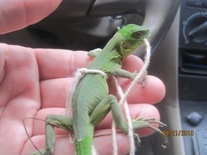 We released this iguana in the jungle.